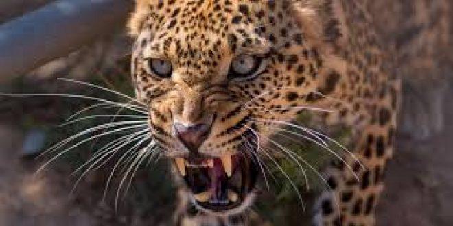 Nene de tres años fue devorado por un leopardo