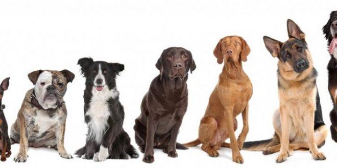 Enterate cuales son las razas de perro mas inteligentes