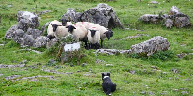 Impulsan el uso de perros pastores para el cuidado del ganado en Argentina