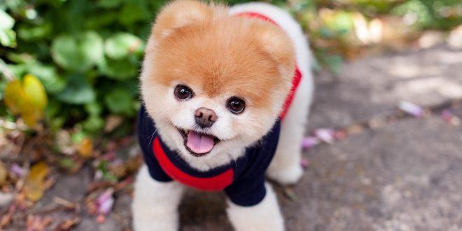 """Murió el perro """"más lindo del mundo"""" por insólito motivo"""