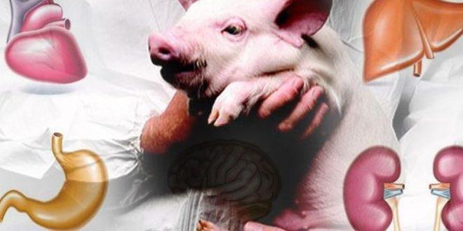 Se podrán trasplantar órganos de cerdos a humanos